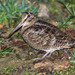 Eurasian Woodcock - Photo (c) Roberto Ghiglia, some rights reserved (CC BY-NC)