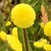 Coronopifolia - Photo (c) mekushka, algunos derechos reservados (CC BY-NC)