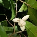 Klarobelia stipitata - Photo (c) Leonardo Álvarez-Alcázar, algunos derechos reservados (CC BY-NC)