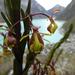 Epidendrum stictoglossum - Photo (c) Daniel Montesinos T, algunos derechos reservados (CC BY-NC)