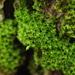 Zygodon viridissimus rupestris - Photo (c) Andrew Simon, algunos derechos reservados (CC BY-NC)