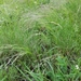 Agrostis hyemalis - Photo (c) Jed Aplaca, algunos derechos reservados (CC BY-NC)