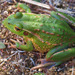 Southern Bell Frog - Photo (c) Mike Lusk, some rights reserved (CC BY-NC)