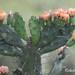 Opuntia rioplatense - Photo (c) Roberto Guller, algunos derechos reservados (CC BY-NC-ND)