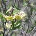 Philibertia solanoides - Photo (c) Daniel Montesinos T, algunos derechos reservados (CC BY-NC)
