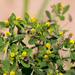 Black Medick - Photo (c) Максим Исмайлов, some rights reserved (CC BY-NC)