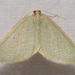Poecilasthena urarcha - Photo (c) Elaine McDonald,  זכויות יוצרים חלקיות (CC BY-NC)