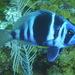 Hypoplectrus indigo - Photo (c) Tomh009, μερικά δικαιώματα διατηρούνται (CC BY-SA)