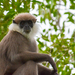 Purple-faced Langur - Photo (c) Yann Pagès - photomatisme.fr, some rights reserved (CC BY-NC-ND)