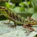 Anolis ventrimaculatus - Photo (c) Alan Wells, algunos derechos reservados (CC BY-NC)