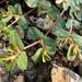 Euphorbia humifusa - Photo (c) Pyak Andrei, algunos derechos reservados (CC BY-NC)