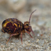 Globular Springtails - Photo (c) Gilles San Martin, some rights reserved (CC BY-SA)