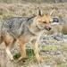 Zorro Colorado - Photo (c) fabien_anthelme, algunos derechos reservados (CC BY-NC)