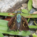 Niconiades merenda - Photo (c) sergiomessias, algunos derechos reservados (CC BY-NC)