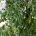 Ficus benjamina benjamina - Photo (c) Chuck Martin, μερικά δικαιώματα διατηρούνται (CC BY-SA)