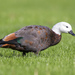 Paradise Shelduck - Photo (c) Oscar Thomas, some rights reserved (CC BY-NC-ND)