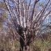 Beiselia mexicana - Photo (c) nasua, algunos derechos reservados (CC BY-NC)