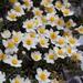 Dryas octopetala - Photo (c) William Stephens,  זכויות יוצרים חלקיות (CC BY)