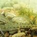 Ammocrypta pellucida - Photo (c) alandextrase, μερικά δικαιώματα διατηρούνται (CC BY-NC)