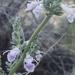 Salvia Blanca - Photo (c) cloudya, algunos derechos reservados (CC BY-NC)