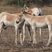 Equus hemionus khur - Photo (c) makarandsaraf, osa oikeuksista pidätetään (CC BY-NC)