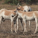 Indian Wild Ass - Photo (c) makarandsaraf, some rights reserved (CC BY-NC)