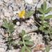 Acmispon strigosus - Photo no hay derechos reservados