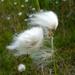 Eriophorum scheuchzeri - Photo (c) Dawn Endico, algunos derechos reservados (CC BY-SA)