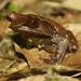 Pelobatrachus nasutus - Photo (c) Ikhwanudin rofi'i, algunos derechos reservados (CC BY-NC)