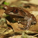 Long-nosed Horned Frog - Photo (c) Ikhwanudin rofi'i, some rights reserved (CC BY-NC)