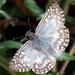 Pyrgus oileus - Photo (c) Ronnie Pitman, μερικά δικαιώματα διατηρούνται (CC BY-NC)