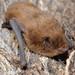 Pipistrellus nathusii - Photo (c) Ivan Pancic, algunos derechos reservados (CC BY-NC)