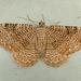 Rheumaptera prunivorata - Photo (c) Dick, algunos derechos reservados (CC BY-NC-SA)