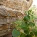 Camptoloma rotundifolium - Photo (c) anaarenaria, μερικά δικαιώματα διατηρούνται (CC BY-NC)