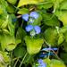 Commelina benghalensis - Photo (c) BJ Stacey, algunos derechos reservados (CC BY-NC)