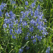 Broadleaf Speedwell - Photo (c) Felix Riegel, some rights reserved (CC BY-NC)