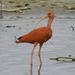 Scarlet Ibis - Photo (c) Sebastián Pardo, some rights reserved (CC BY-NC)