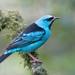 Saí Azul - Photo (c) Hudson Martins Soares, algunos derechos reservados (CC BY-NC)