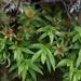 Pogonatum aloides - Photo (c) Avery, algunos derechos reservados (CC BY-NC)