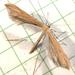 Pterophoroidea - Photo (c) Dick, algunos derechos reservados (CC BY-NC-SA)