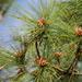 Pinus elliottii densa - Photo (c) Pablo I Ruiz, algunos derechos reservados (CC BY-NC)