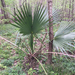 Dwarf Palmetto - Photo (c) Libby Megna, some rights reserved (CC BY-NC)