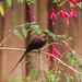 Nectarinia tacazze - Photo (c) Peter Steward, μερικά δικαιώματα διατηρούνται (CC BY-NC)