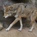 Lobo Rojo - Photo (c) Valerie, algunos derechos reservados (CC BY-NC-ND)
