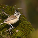 Crested Tit - Photo (c) thierrycordenos, some rights reserved (CC BY-NC)