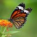 Mariposas del Algodoncillo - Photo (c) Tarique Sani, algunos derechos reservados (CC BY-NC-SA)