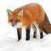 Κόκκινη Αλεπού - Photo (c) Joanne Redwood, μερικά δικαιώματα διατηρούνται (CC BY-NC)