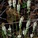 Polygala alba - Photo (c) Richard Reynolds, alguns direitos reservados (CC BY-NC)