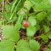 Fragaria vesca bracteata - Photo (c) Aaron Liston, alguns direitos reservados (CC BY)