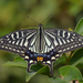 Mariposa Asiática de Colas de Golondrina - Photo (c) Tree Fong, algunos derechos reservados (CC BY-NC)